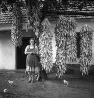 Dr. Domonkos Ottó: Kukorica fűzér szárítás (Kapuvár, 1952.) - Soproni Múzeum